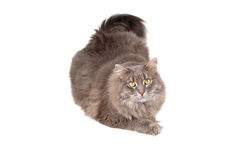 Gray cat Stock Photos