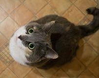 Gray Cat Foto de Stock Royalty Free