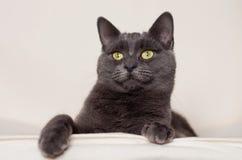 Gray Cat Fotos de archivo libres de regalías