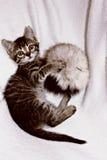Gray Cat Immagine Stock Libera da Diritti