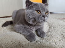 Gray Cat Stockbild