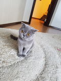 Gray Cat Stockbilder