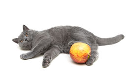 Gray cat and apple isolated on a white background Royalty Free Stock Images