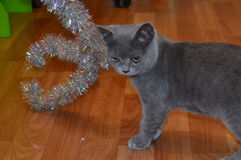 Gray cat. Gray or, as they are usually called, blue cats - a fairly common type of color, which has a special nobility and a variety of unique Stock Images