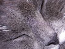 Gray cat asleep Stock Photos