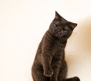 Gray cat attempts to bat Stock Photography