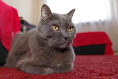 Gray cat. Attentive gray cat on a red couch Royalty Free Stock Photo