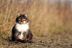 Gray cat in autumn field. Gray cat sitting in autumn grass Stock Image