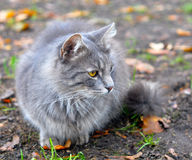 Gray cat autumn leaves Royalty Free Stock Image