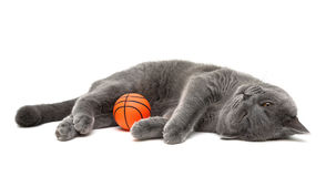 Gray cat with a ball on a white background Royalty Free Stock Images