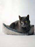 Gray cat Royalty Free Stock Photo