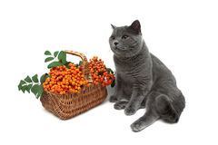 Gray cat and a basket of red rowan on a white background Stock Photos