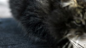 Gray cat basking in the sun stock video footage