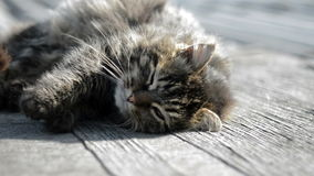Gray cat basking in the sun stock footage
