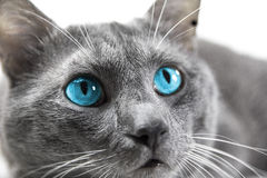 Gray cat with beautiful blue eyes a white background isolated. Gray cat with beautiful blue eyes Stock Photos