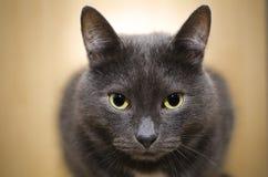 Gray cat Stock Image