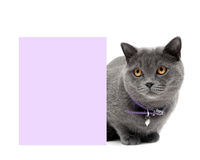 Gray cat in a beautiful collar around a banner Royalty Free Stock Photo