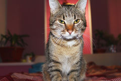 Gray cat. Gray, beautiful, a domestic cat sits and looks with cunning eyes Stock Photography