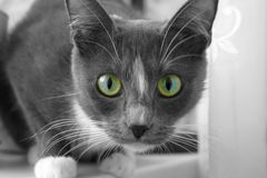 Gray cat with beautiful eyes. Gray cat gazing with a beautiful look Stock Photography