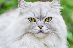 A gray cat with beautiful hair and intelligent eyes Stock Image