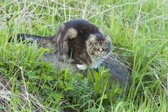 Gray cat Stock Photography