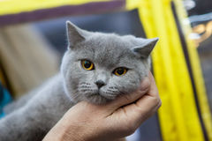 Gray cat with big eyes on hands. Briton gray cat yellow eyes on hands royalty free stock photo