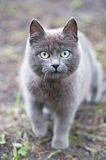 Gray cat with big green eyes Royalty Free Stock Photography