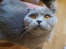 A gray cat with big yellow eyes is looking up. Portrait stock images