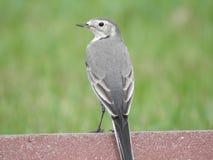 Gray Cat Bird royaltyfri bild