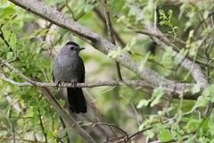 Gray Cat Bird. A gray cat bird in the forest royalty free stock image