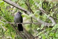 Gray Cat Bird. A gray cat bird in the forest stock images