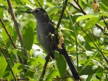 Gray Cat Bird i min trädgård fotografering för bildbyråer