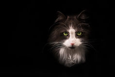 Gray cat on black background royalty free stock photo