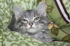 Gray cat in a blanket Stock Photography