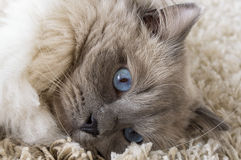 Gray cat with blue eyes Royalty Free Stock Image