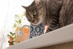 Gray cat with blue mug royalty free stock photography