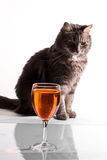 Gray cat with bocal. On white background stock image
