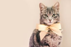 Gray cat with bow-knot royalty free stock photo