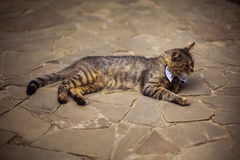 Gray cat in bow tie, cat attire, preparing for the wedding Royalty Free Stock Photo