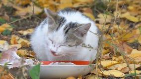 Gray Cat branco que come seu alimento vídeos de arquivo