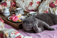 Gray cat and breakfast with coffee in bed. Gray cat and breakfast with coffee and donits in bed royalty free stock photography