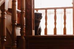 Gray cat breed Briton. Little Briton cat. pets stock photography
