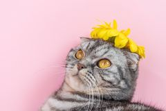 Gray cat breed Scottish Fold close-up with a yellow flower. On a pink background. A funny photo of a cute pet royalty free stock image