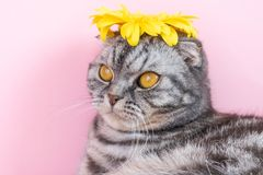 Gray cat breed Scottish Fold close-up with a yellow flower. On a pink background. A funny photo of a cute pet stock images