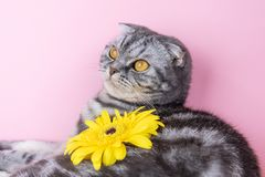 Gray cat breed Scottish Fold close-up with a yellow flower. On a pink background. A funny photo of a cute pet stock photo