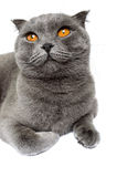 Gray cat breed Scottish Fold lies and looking up. Isolation object on a white background. Stock Photography