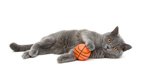 Gray cat (breed scottish-straigh) with a ball on a white backgro Royalty Free Stock Images