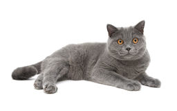 Gray cat (breed scottish-straight, age 8,0 months) on a white ba Royalty Free Stock Photos