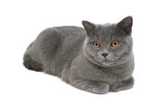 Gray cat (breed Scottish straight) close-up on white background Stock Photos