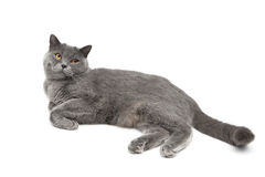 Gray cat breed Scottish Straight lies on a white background Royalty Free Stock Photography